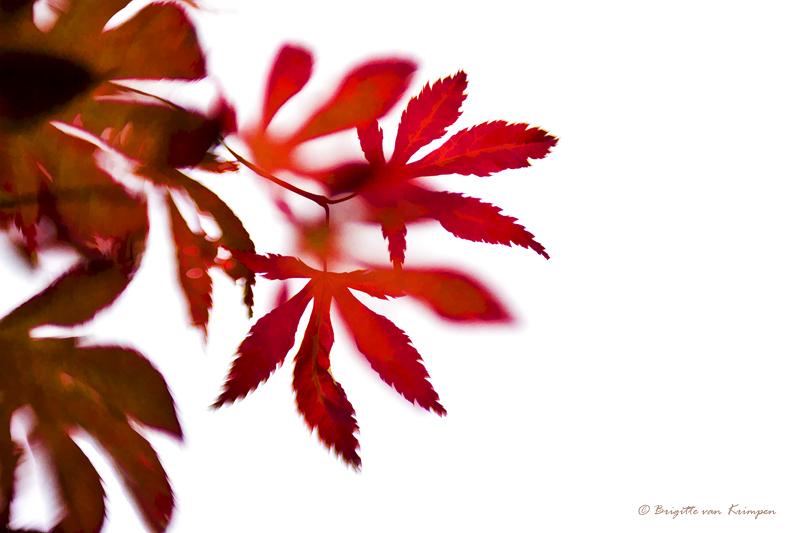 赤い Akai; rood blad