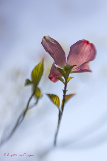 Barairono  薔薇色の - rooskleurig, hoopvol