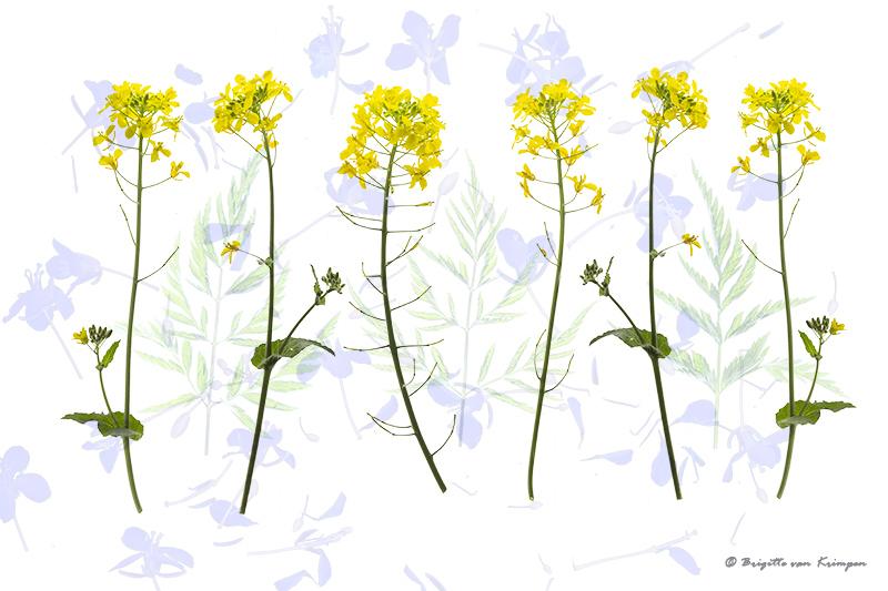 Yellow freshness