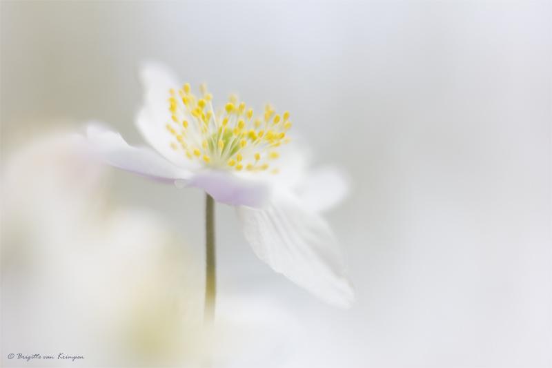 Milky spring