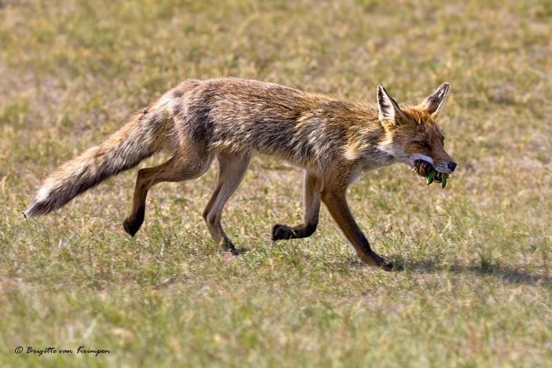 Fox on the hunt II